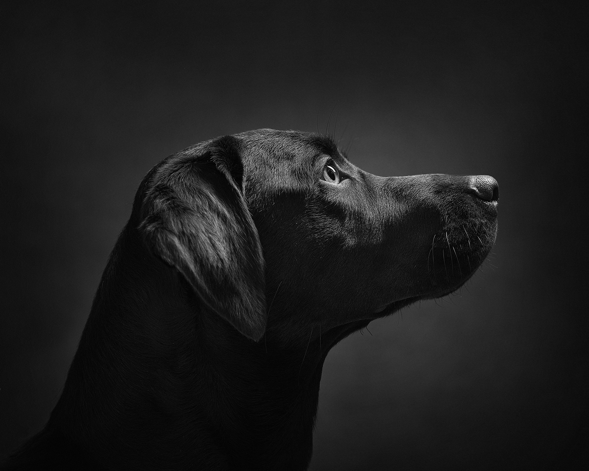 Pet portrait of a black labrador by Portrait photographer Preston