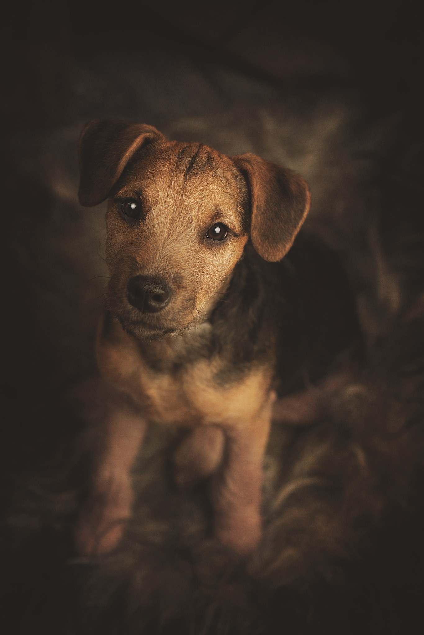 pet portrait of a terrier puppy by Portrait photographer Preston