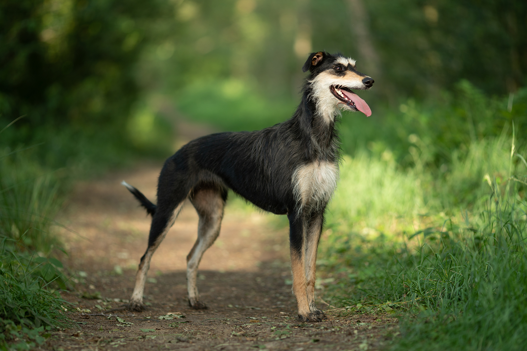 pet portrait lurcher on location by Portrait photographer Preston